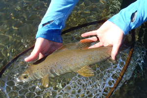 MSU researchers part of team attempting to reintroduce Arctic grayling to Michigan streams