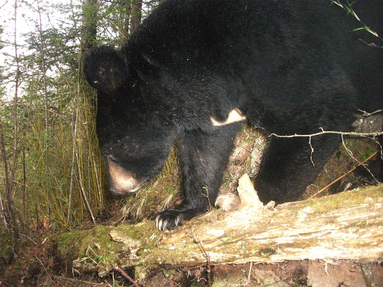 An Asiatic black bear from a camera trap in China